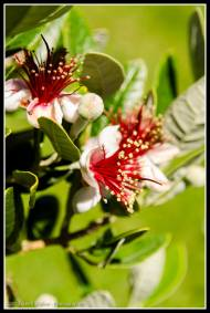 Feijoa flowering.